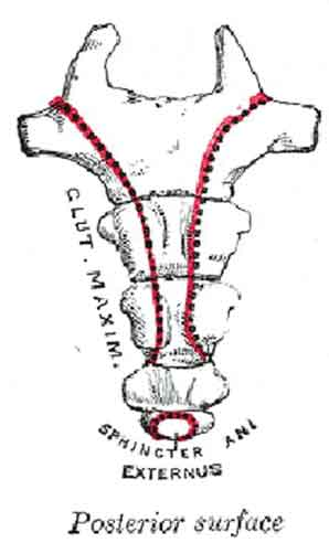 Svanskota Gluteus maximus